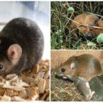 Среда обитания мыши