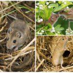 Мыши в природе