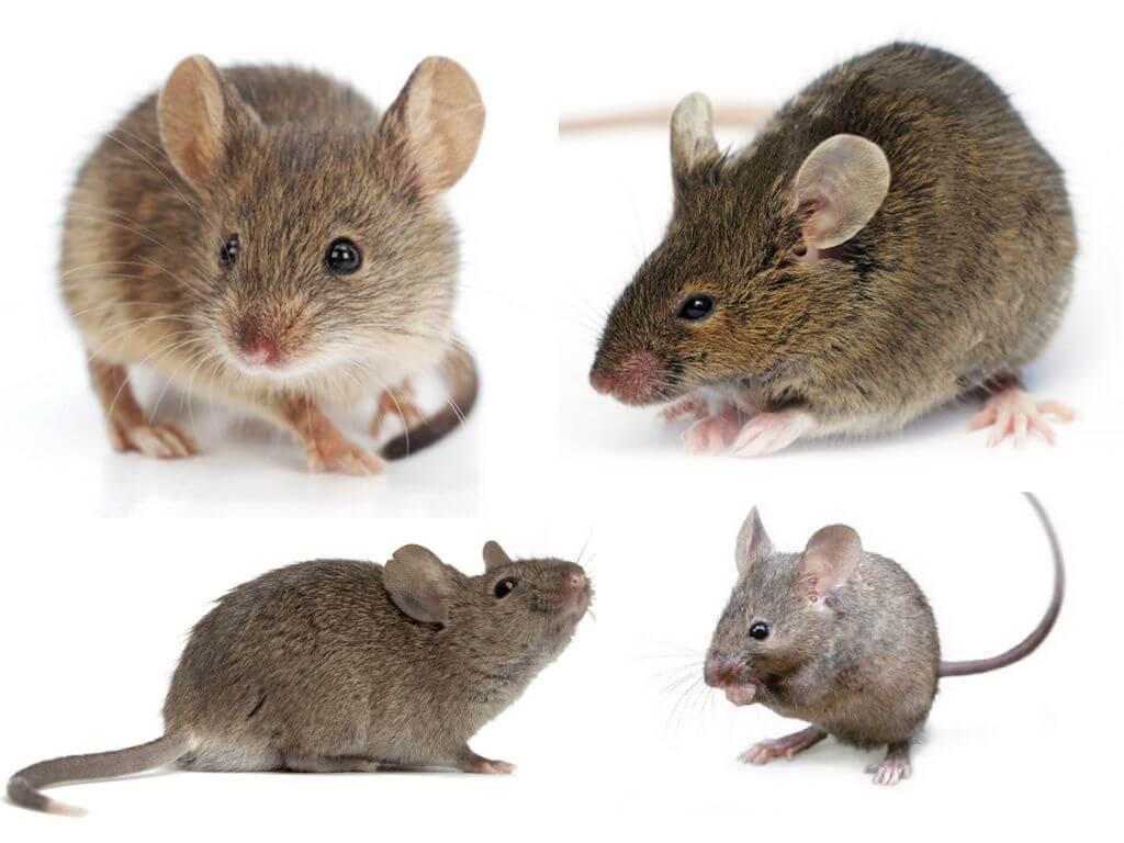 Внешний вид мыши