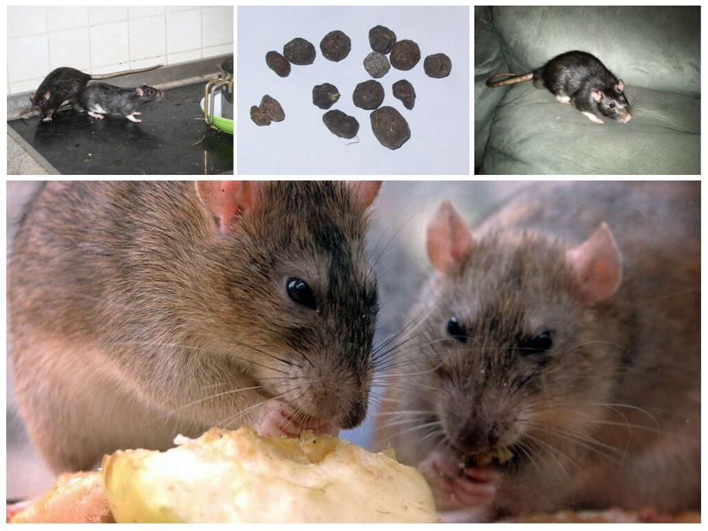 Признаки присутствия крысы
