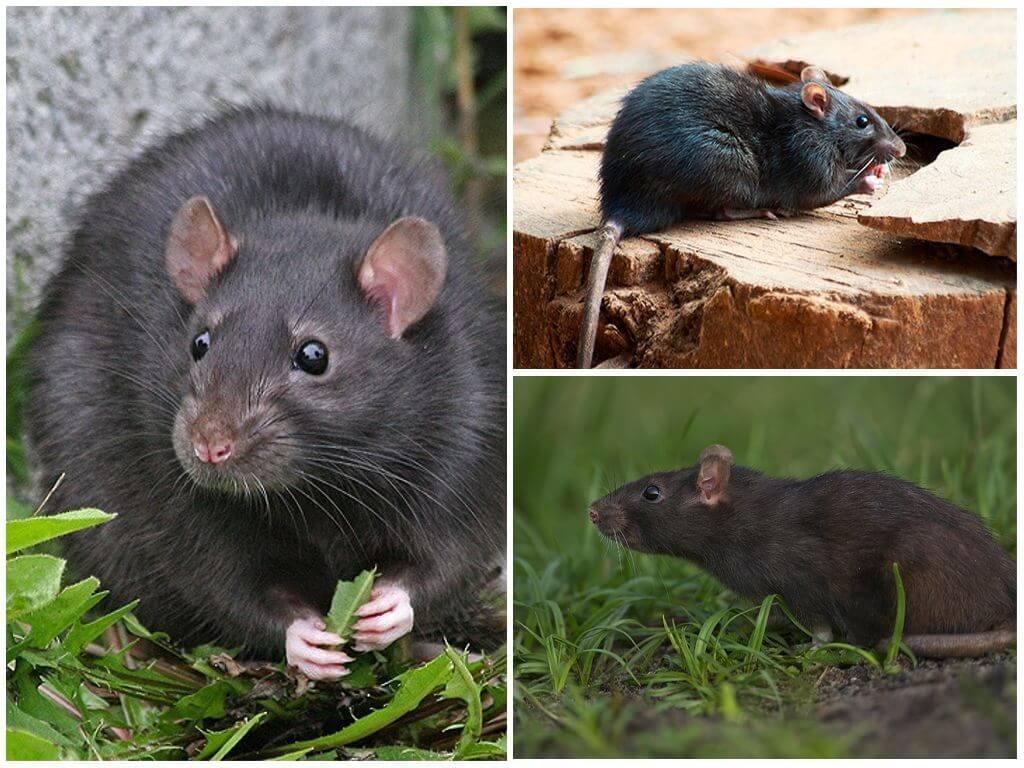Среда обитания черной крысы