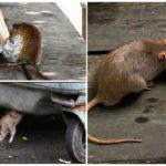 Опасность крыс