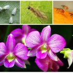 Мошки в орхидеях