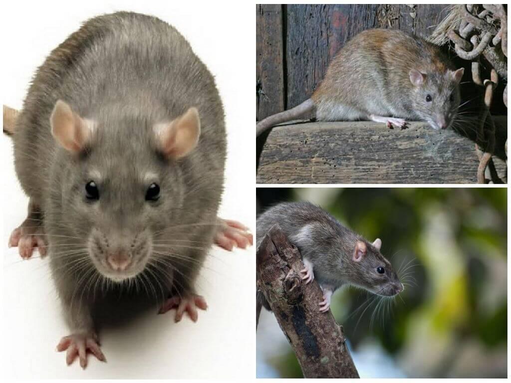 Серая крыса или пасюк