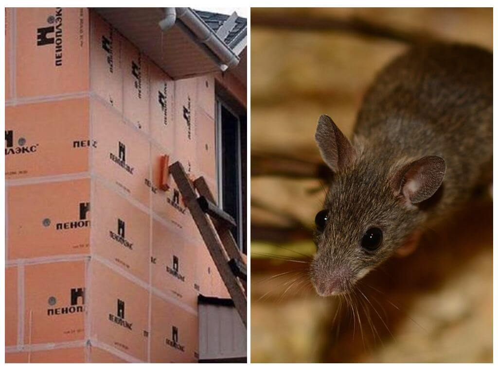 Грызут ли мыши пеноплекс