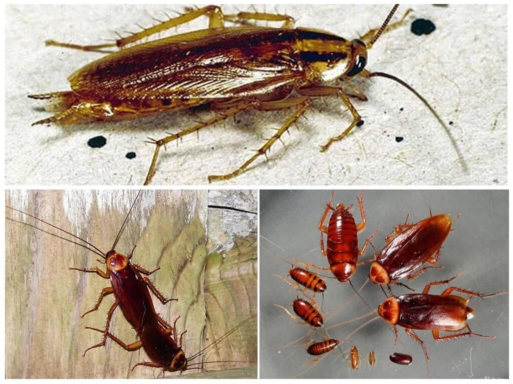 Размножение американского таракана
