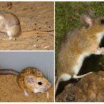Желтогорлая мышка и песчанка