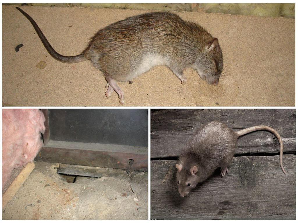 Дохлая крыса под полом