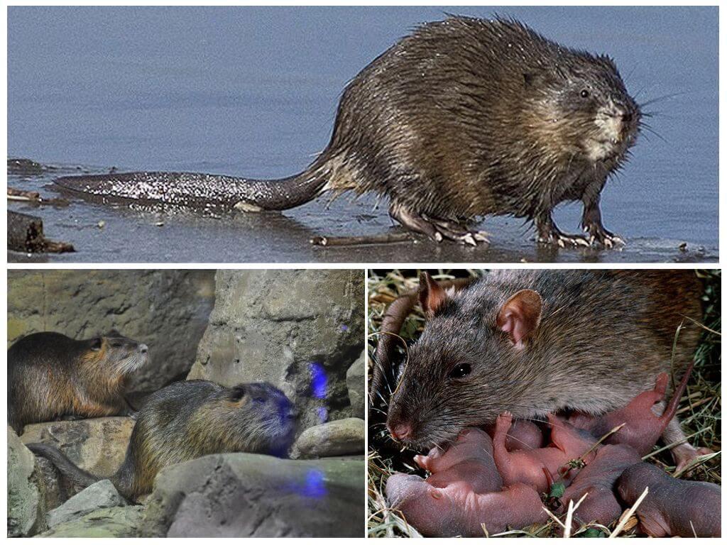 Размножение водяной крысы