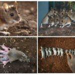 Размножение земляной крысы