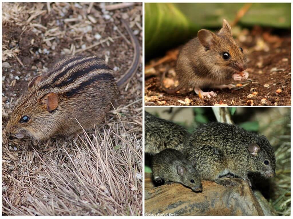 Африканская, лесная и травяная мыши