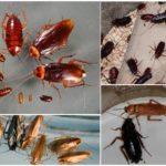 Жизнь и развитие тараканов