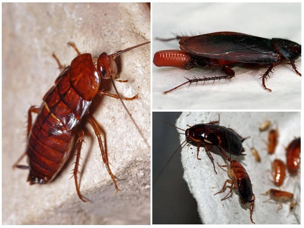 Рыжий таракан или прусак