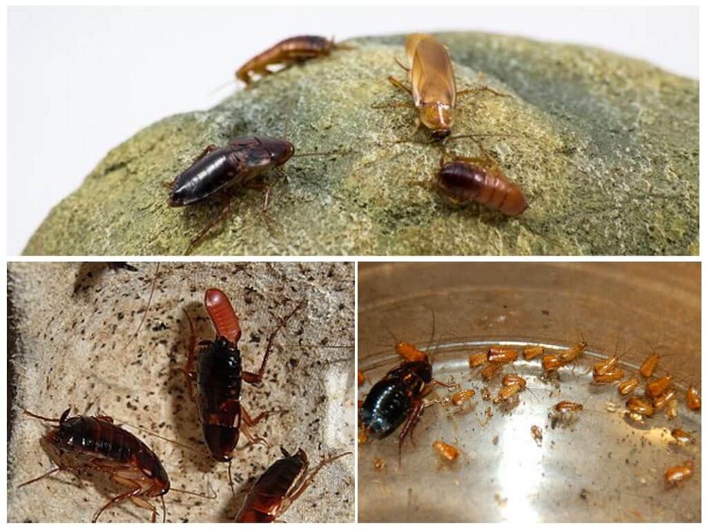 Размножение туркменски тараканов