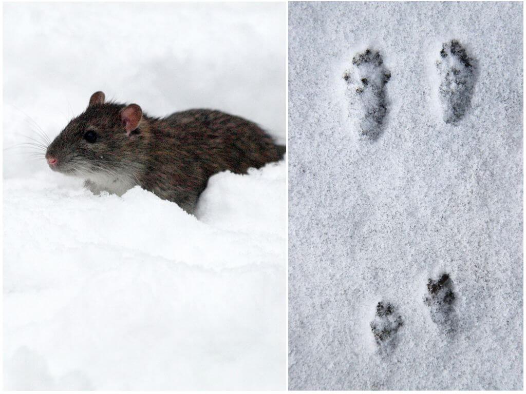 Крысиные следы