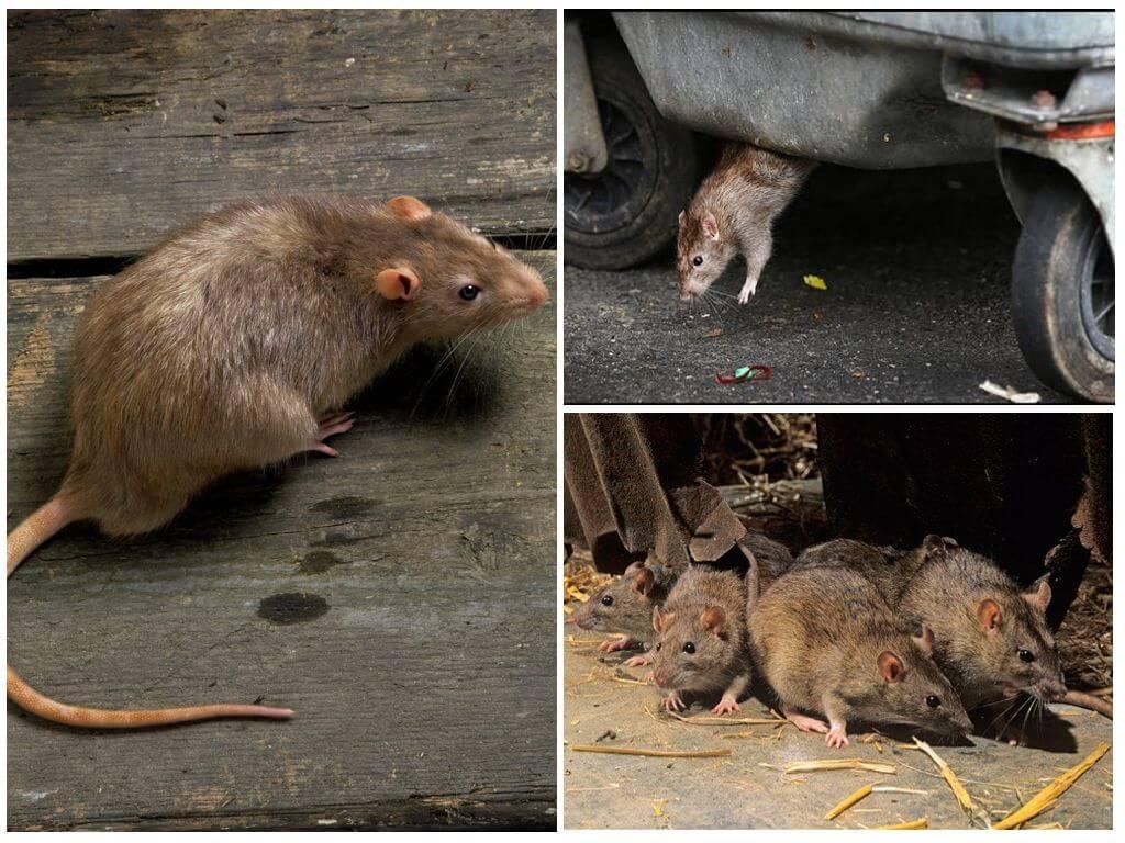 Способности диких крыс