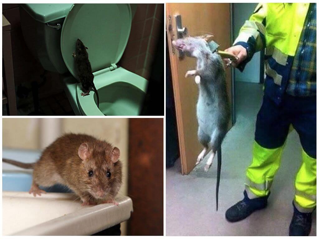 Борьба с крысами в туалете