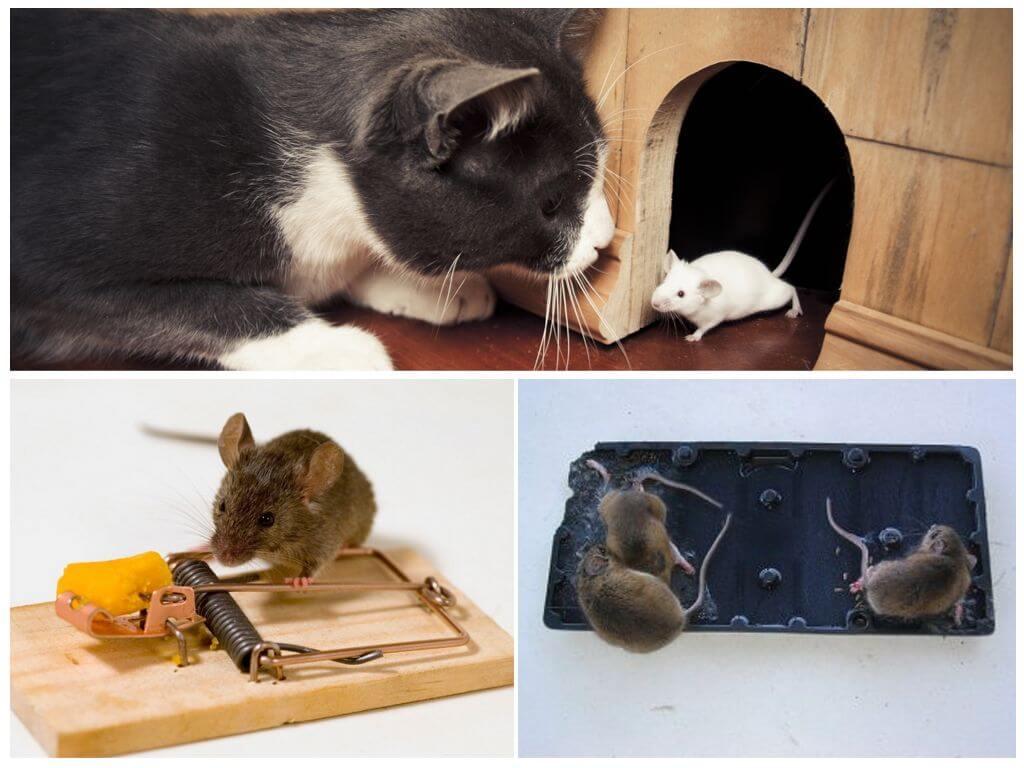 Уничтожение мышей разными способами