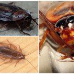 Строение глаз и головы у таракана