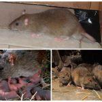 Жизнь крысы на воле