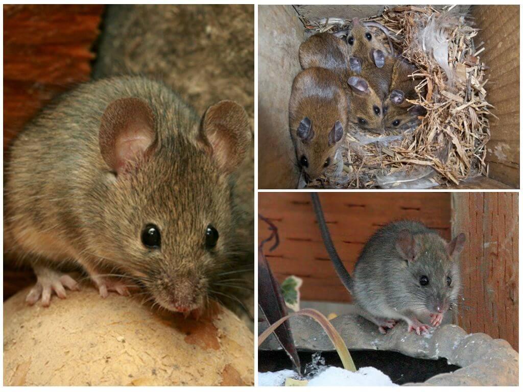 Среда обитания мышей