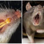 Зубы крысы