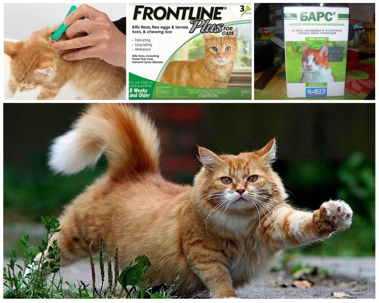 Лечение вшивости у кошек