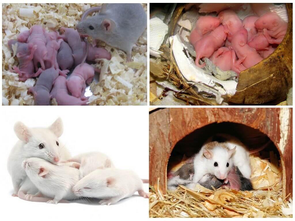 Мышь и мышата