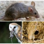 Мышь в природе