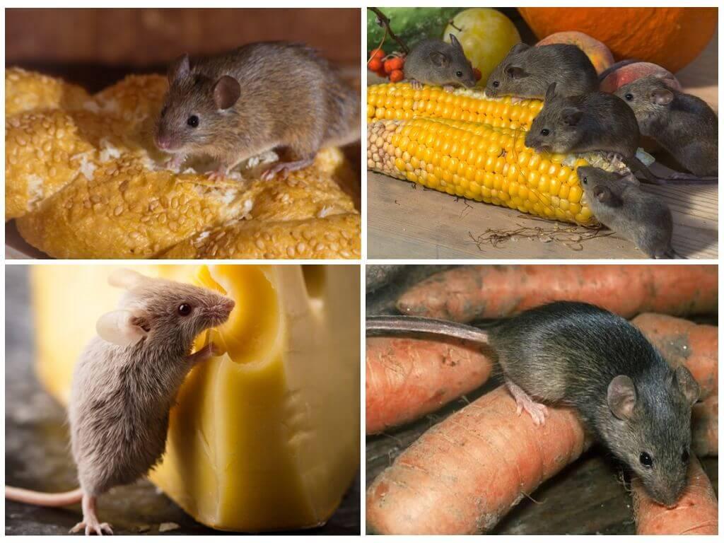 Пропитание мышей в доме человека