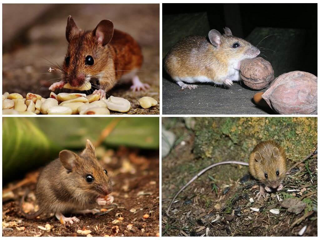 Предпочтения мышей в еде