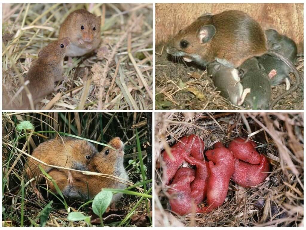 Размножение мышей