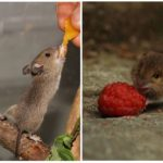 Любимая еда мышей