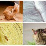 Симптомы заражения у кошки