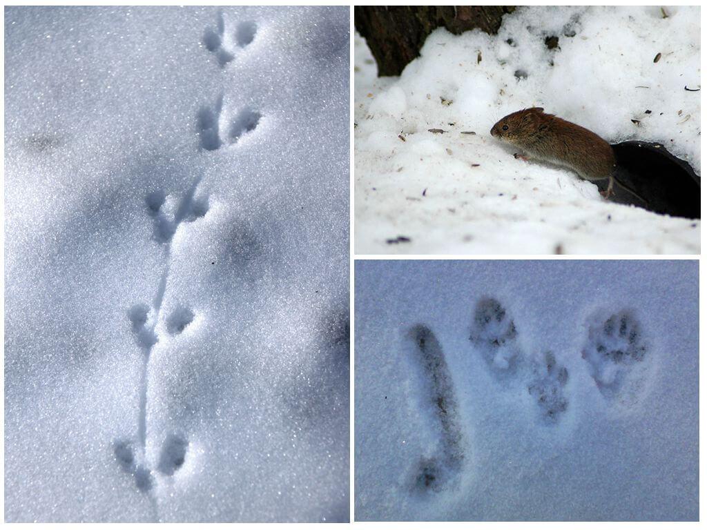 Следы мыши на снегу