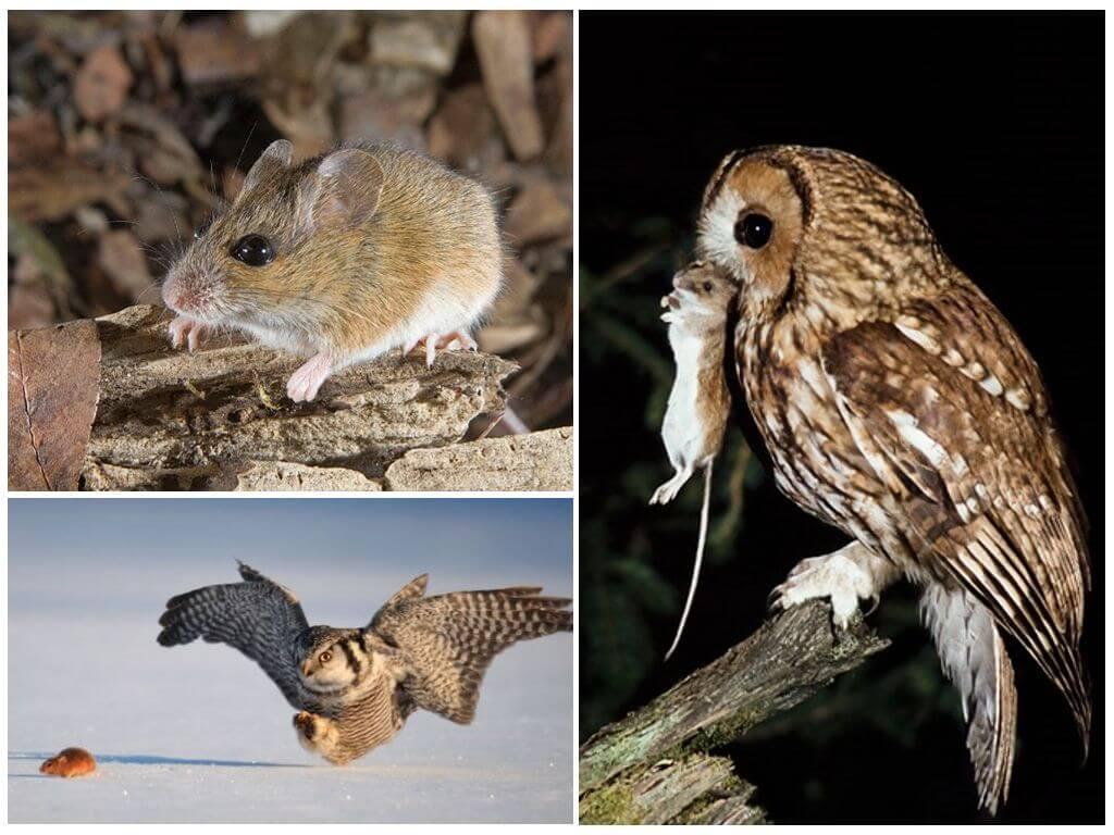 Сова ловит мышь