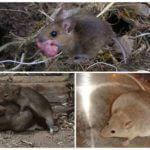 Спаривание и беременность грызунов