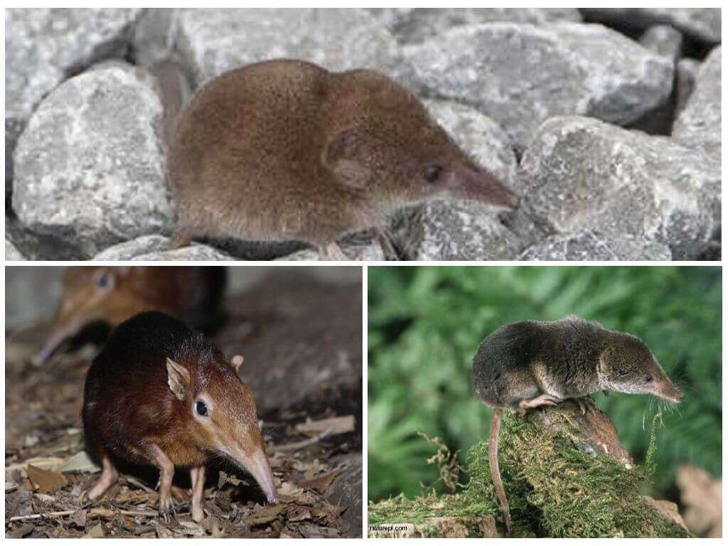 Мышь с длинным носом