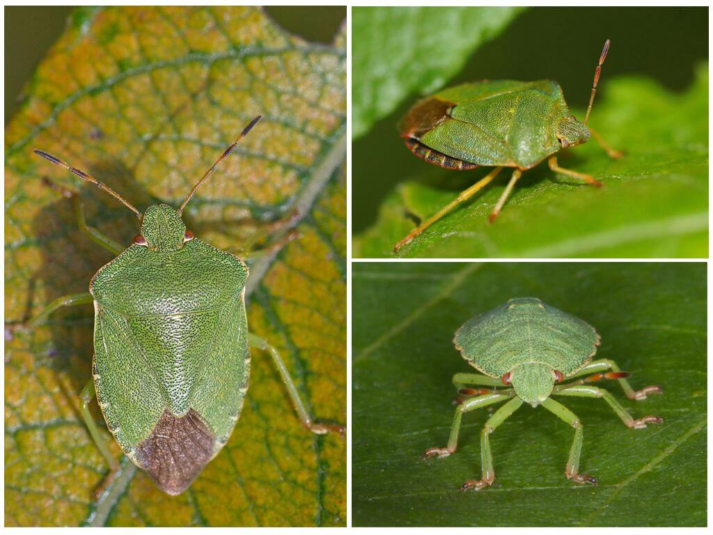 Зеленый древесный клоп щитник