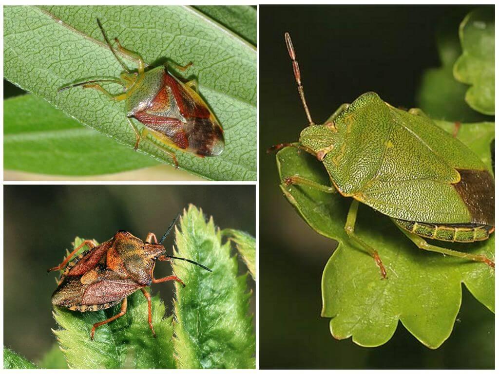 Зеленый древесный щитник, березовый клоп и щитник черноусый