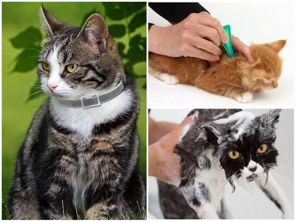 Выведение блох у кошек