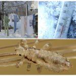 Низкие температуры для борьбы с паразитами