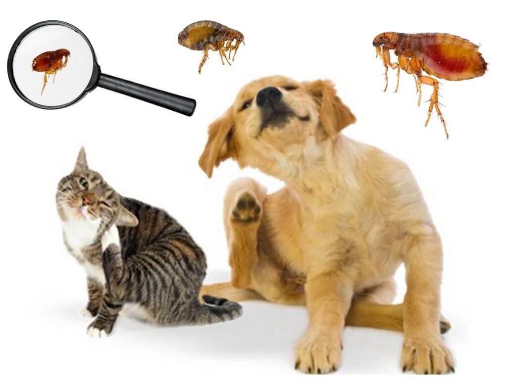 Блохи на животных