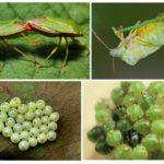 Размножение зеленого клопа щитника