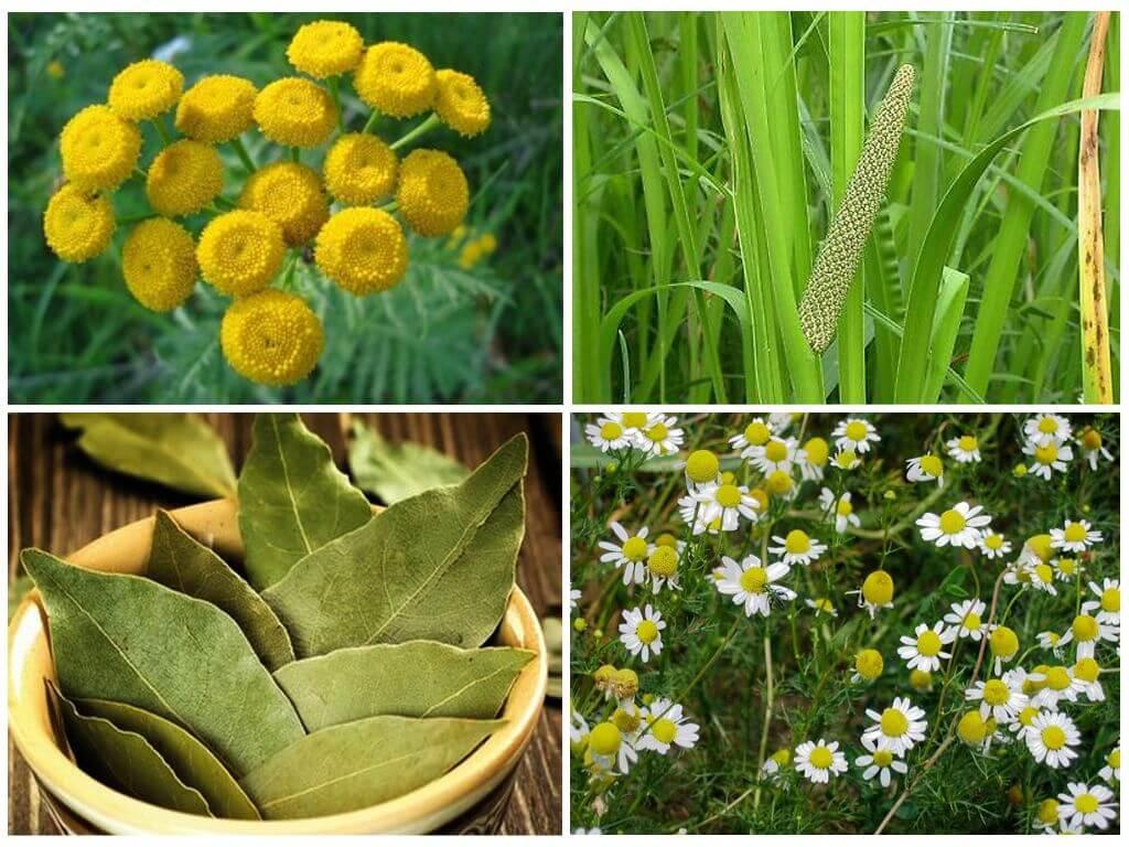 Растения от клопов
