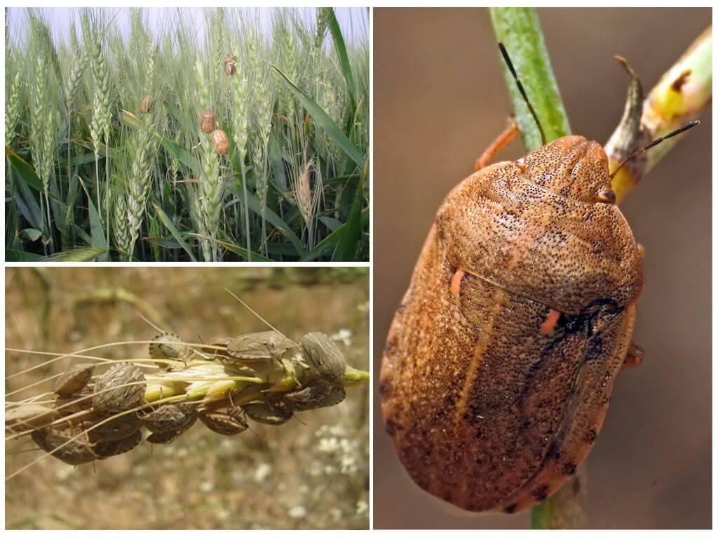 Клопы на сельскохозяйственных культурах