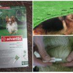 Обработка животного каплями от блох