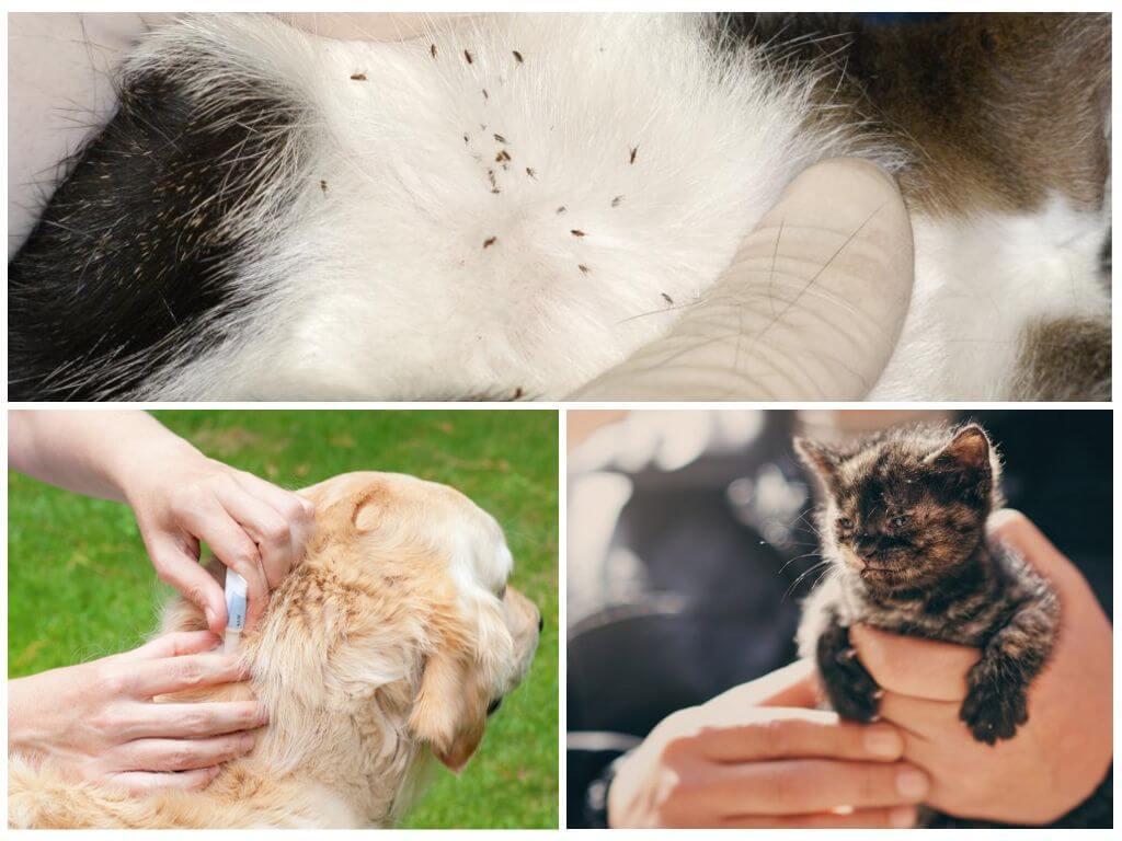 Блохи у домашних животных