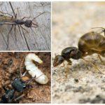 Среда обитания муравьев-бульдогов
