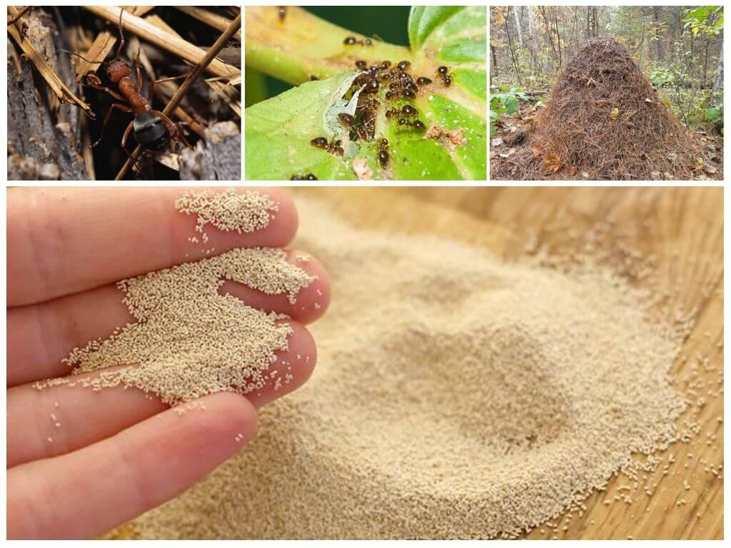 Дрожжи от муравьев в огороде и саду